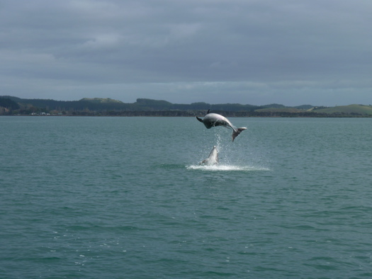 Dolphin Jumping in the Bay of Islands
