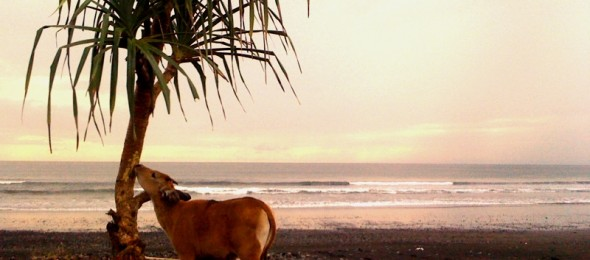 Cow on Medewi Beach