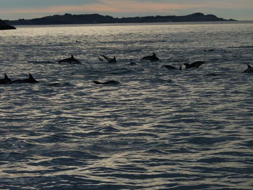 Dusky Dolphins in Kaikoura New Zealand