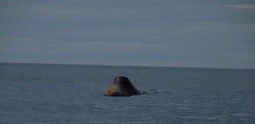 Sperm Whale Head - Surface Feeding