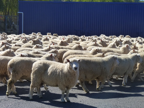 Sheep in Te Kuiti