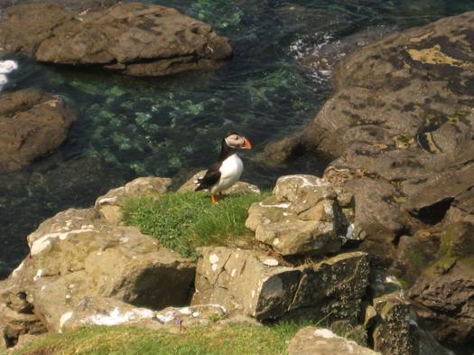 Isle of Staffa - Puffins