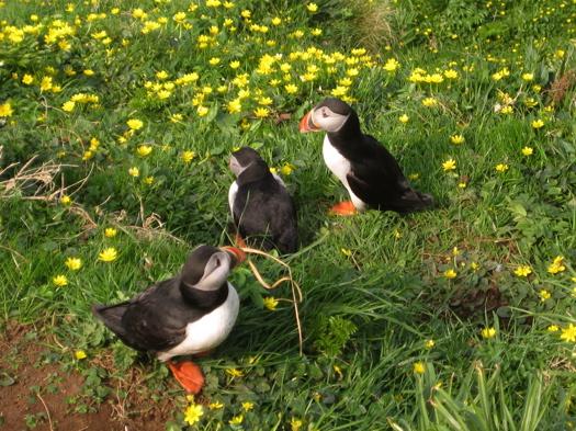 Puffins: Close Up - Isle of Staffa, Scotland