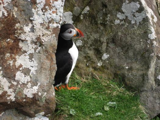 Puffin on Isle of Staffa