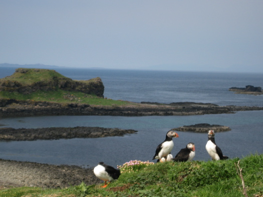 Puffins on the Isle of Staffa