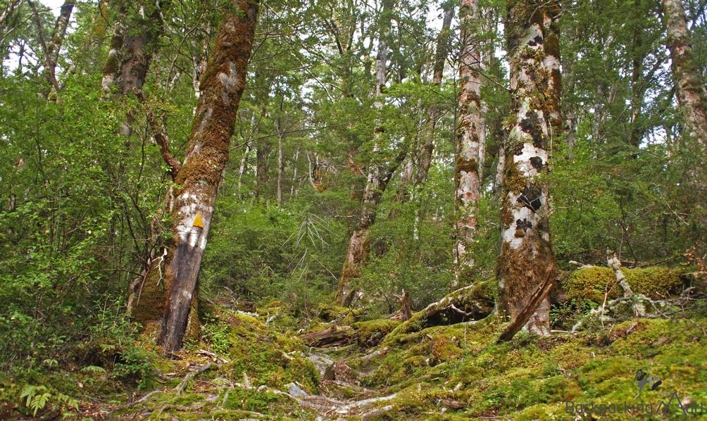 Climbing through native beech.